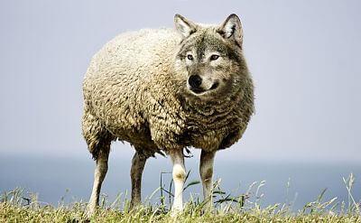 Vende humos son lobos con piel de oveja. Imagen de un lobo con cuerpo de oveja.